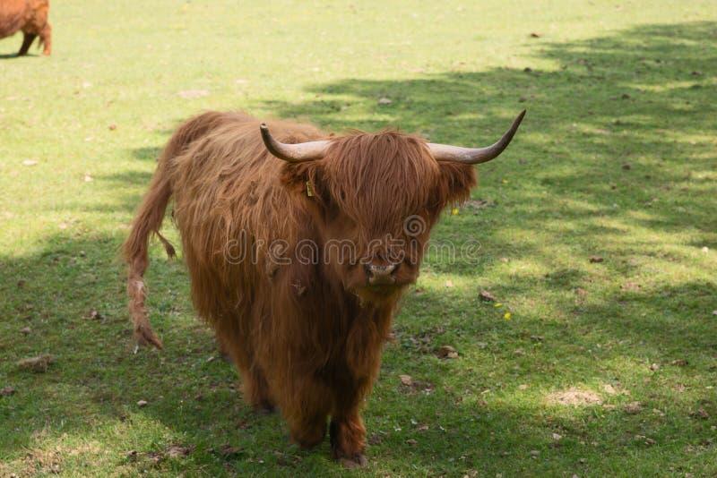 Σκωτσέζικα βοοειδή ορεινών περιοχών στο λιβάδι στοκ εικόνα με δικαίωμα ελεύθερης χρήσης