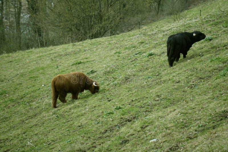 Σκωτσέζικα βοοειδή ορεινών περιοχών στοκ φωτογραφίες