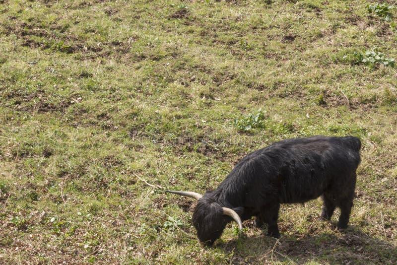 Σκωτσέζικα βοοειδή ορεινών περιοχών στοκ φωτογραφία