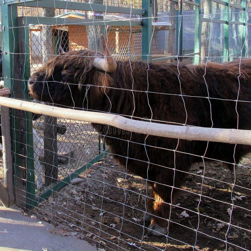 Σκωτσέζικα βοοειδή ορεινών περιοχών Bull σε ένα κλουβί Αγελάδα στοκ εικόνες