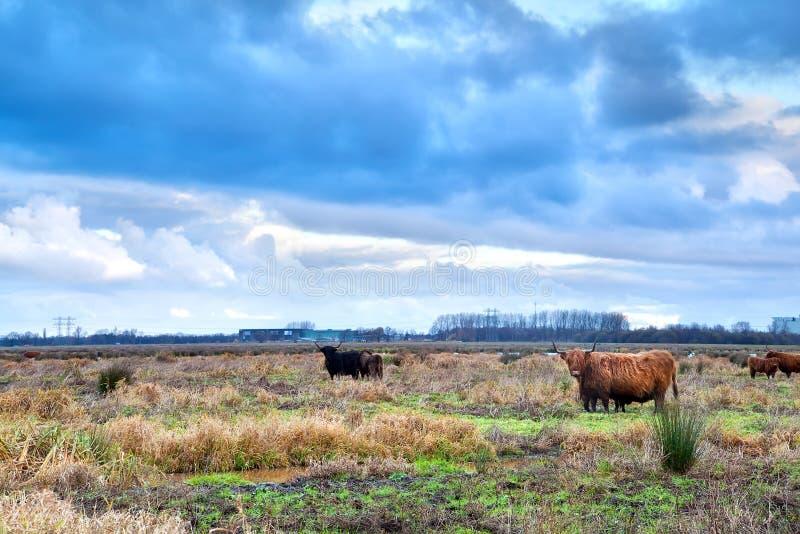 Σκωτσέζικα βοοειδή Χάιλαντς στο λιβάδι στοκ φωτογραφία