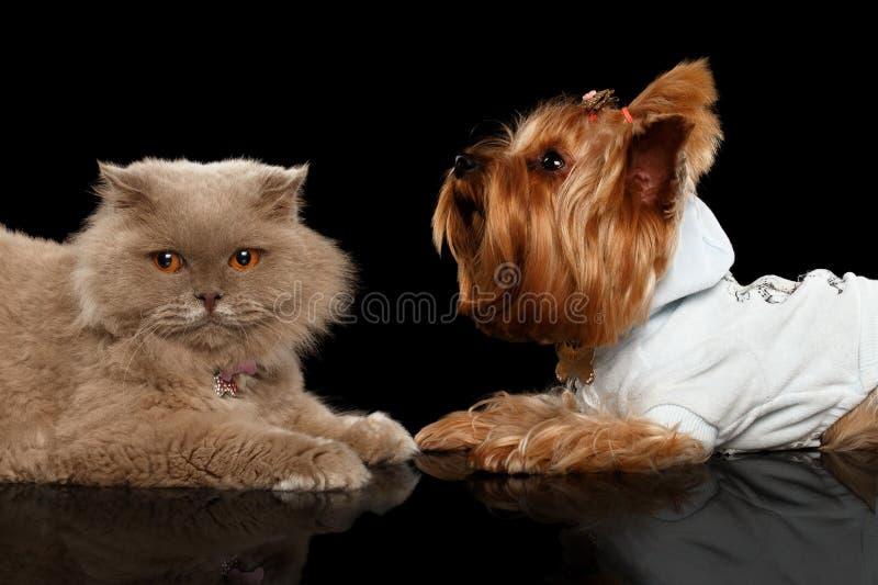 Σκωτσέζικα γάτα και σκυλί τεριέ του Γιορκσάιρ που απομονώνονται στοκ φωτογραφία με δικαίωμα ελεύθερης χρήσης