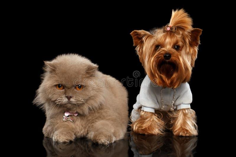 Σκωτσέζικα γάτα και σκυλί τεριέ του Γιορκσάιρ που απομονώνονται στοκ φωτογραφία