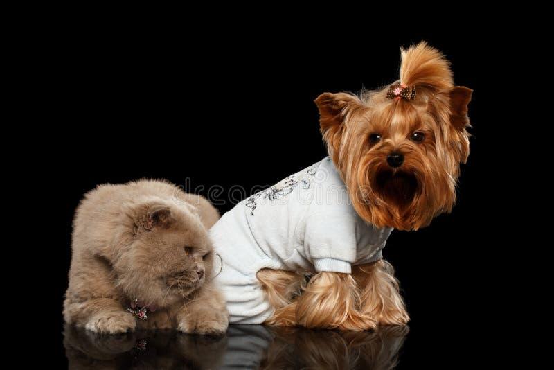 Σκωτσέζικα γάτα και σκυλί τεριέ του Γιορκσάιρ που απομονώνονται στοκ εικόνες
