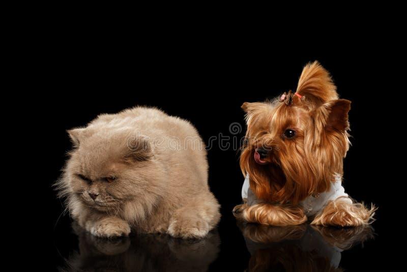 Σκωτσέζικα γάτα και σκυλί τεριέ του Γιορκσάιρ που απομονώνονται στοκ εικόνες με δικαίωμα ελεύθερης χρήσης