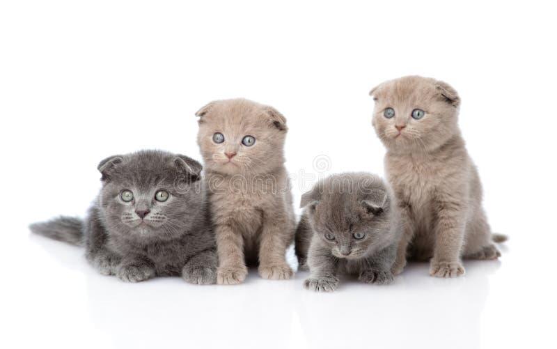 Σκωτσέζικα γατάκια μωρών ομάδας η ανασκόπηση απομόνωσε το λευκό στοκ εικόνα με δικαίωμα ελεύθερης χρήσης