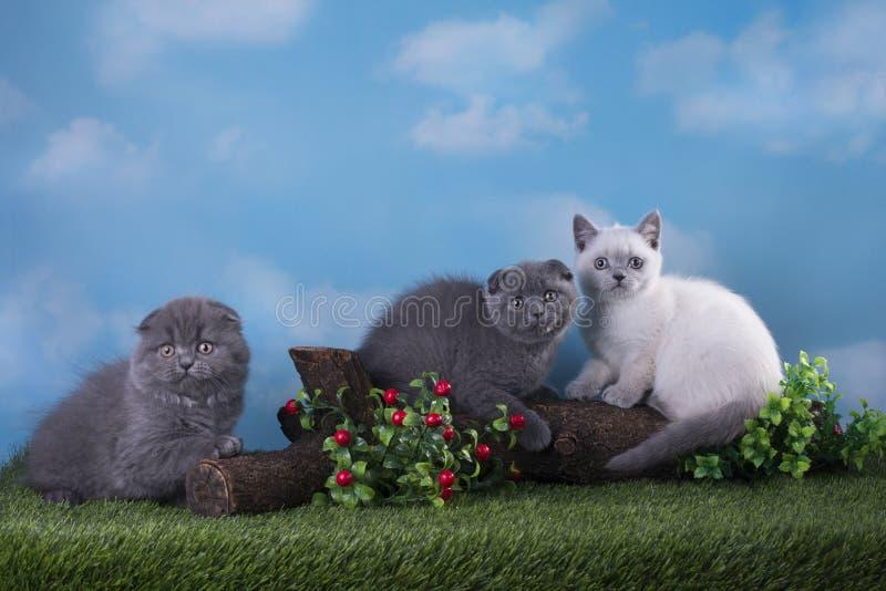 Σκωτσέζικα γατάκια που παίζουν στο λιβάδι στοκ φωτογραφίες