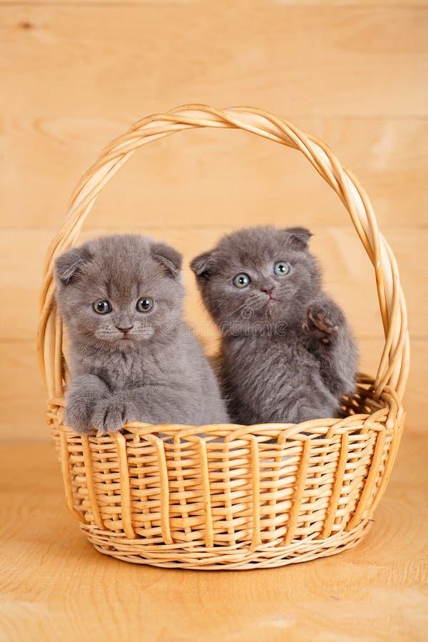 Σκωτσέζικα γατάκια πτυχών ζεύγους στοκ φωτογραφία με δικαίωμα ελεύθερης χρήσης
