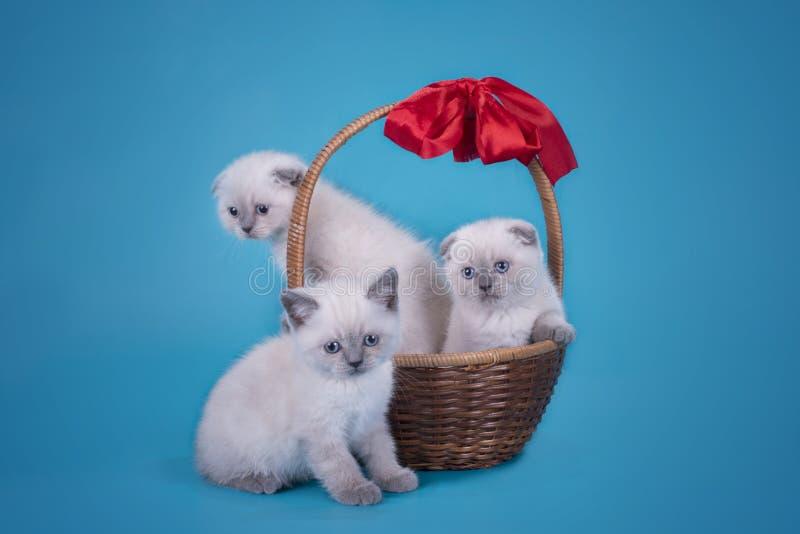 Σκωτσέζικα γατάκια πτυχών σε ένα καλάθι σε ένα μπλε υπόβαθρο στοκ φωτογραφία