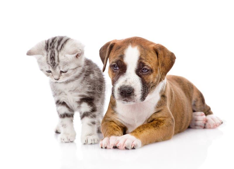 Σκωτσέζικα γατάκι και κουτάβι από κοινού η ανασκόπηση απομόνωσε το λευκό στοκ φωτογραφία