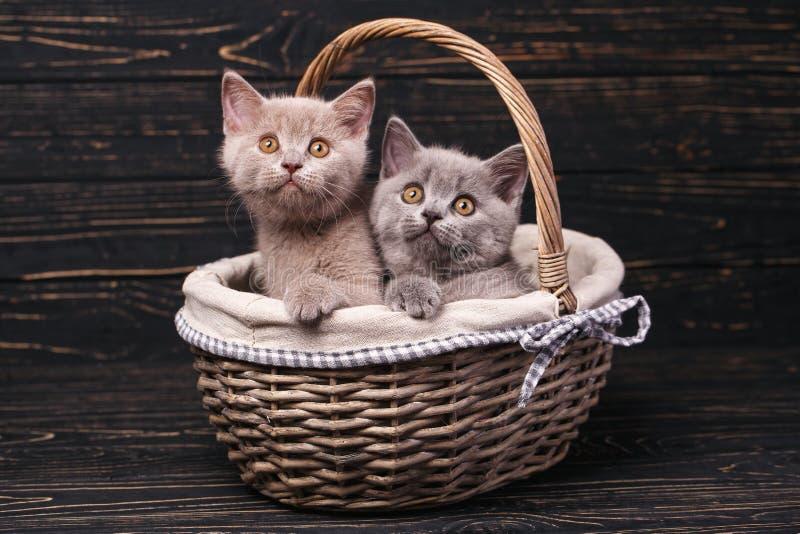 Σκωτσέζικα ευθέα γατάκια Τα φοβιτσιάρη γατάκια εξερευνούν τα νέα εδάφη στοκ φωτογραφία με δικαίωμα ελεύθερης χρήσης