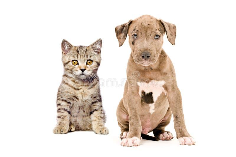 Σκωτσέζικα ευθέα γατάκι και pitbull κουτάβι στοκ φωτογραφία