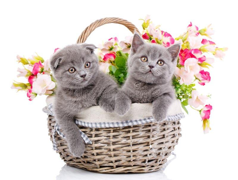 Σκωτσέζικα ευθέα και σκωτσέζικα γατάκια πτυχών Έννοια pos γατακιών στοκ εικόνες με δικαίωμα ελεύθερης χρήσης