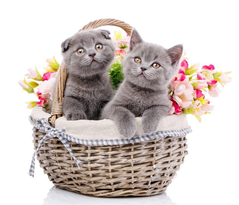 Σκωτσέζικα ευθέα και σκωτσέζικα γατάκια πτυχών Γάτες με τις διακοσμήσεις στοκ εικόνα