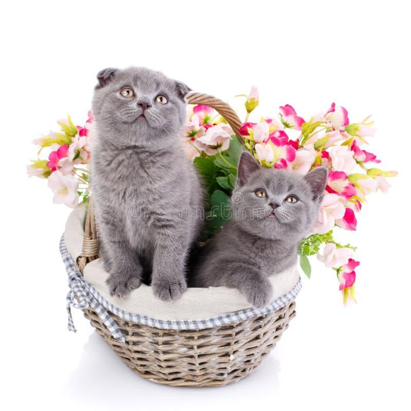 Σκωτσέζικα ευθέα και σκωτσέζικα γατάκια πτυχών Χνουδωτά γατάκια στο α στοκ εικόνες