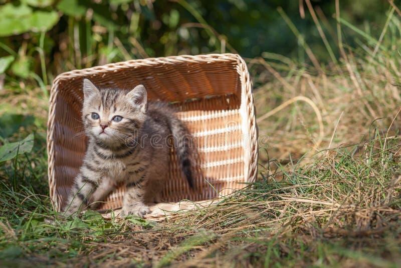 Σκωτσέζικα καθίσματα γατακιών πτυχών νέα στοκ φωτογραφίες