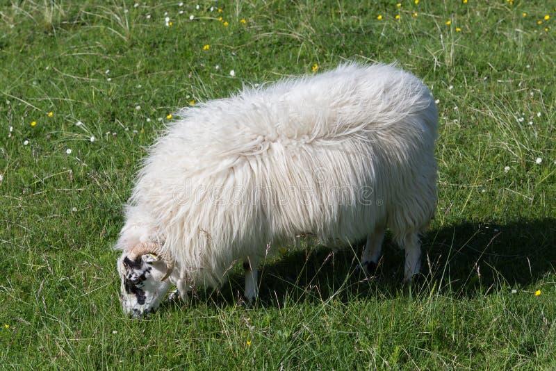 Σκωτσέζικα πρόβατα κατά τη βοσκή στοκ φωτογραφίες