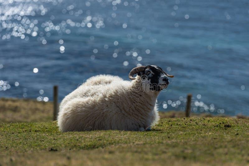 Σκωτσέζικα πρόβατα Blackface, νησί της Skye Σκωτία, Ηνωμένο Βασίλειο στοκ εικόνες με δικαίωμα ελεύθερης χρήσης
