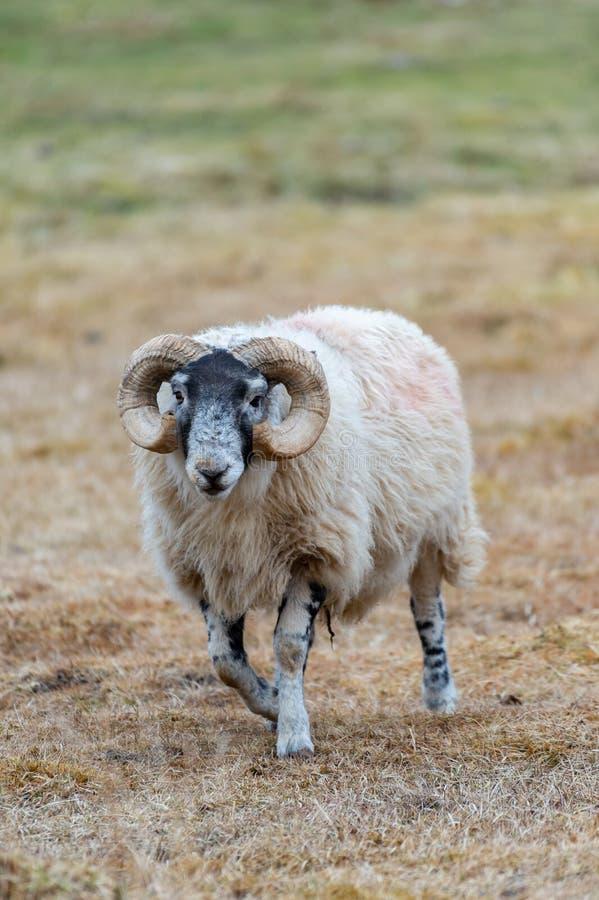 Σκωτσέζικα πρόβατα Blackface, νησί της Skye Σκωτία, Ηνωμένο Βασίλειο στοκ φωτογραφίες με δικαίωμα ελεύθερης χρήσης