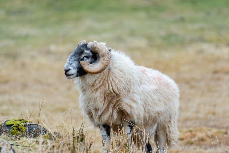 Σκωτσέζικα πρόβατα Blackface, νησί της Skye Σκωτία, Ηνωμένο Βασίλειο στοκ εικόνες