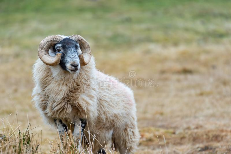 Σκωτσέζικα πρόβατα Blackface, νησί της Skye Σκωτία, Ηνωμένο Βασίλειο στοκ εικόνα