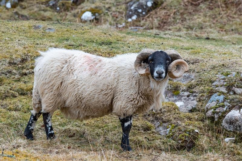 Σκωτσέζικα πρόβατα Blackface, νησί της Skye Σκωτία, Ηνωμένο Βασίλειο στοκ φωτογραφίες