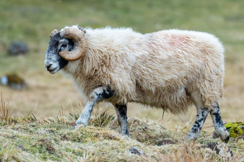 Σκωτσέζικα πρόβατα Blackface, νησί της Skye Σκωτία, Ηνωμένο Βασίλειο στοκ εικόνα με δικαίωμα ελεύθερης χρήσης