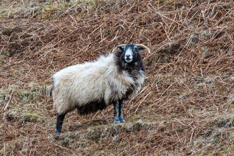 Σκωτσέζικα πρόβατα Blackface, νησί της Skye Σκωτία, Ηνωμένο Βασίλειο στοκ φωτογραφία