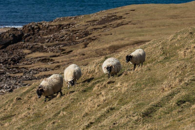 Σκωτσέζικα πρόβατα Blackface, νησί της Skye Σκωτία, Ηνωμένο Βασίλειο στοκ φωτογραφία με δικαίωμα ελεύθερης χρήσης