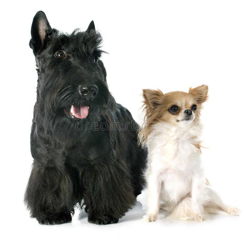 Σκωτσέζικα τεριέ και chihuahua στοκ φωτογραφίες με δικαίωμα ελεύθερης χρήσης