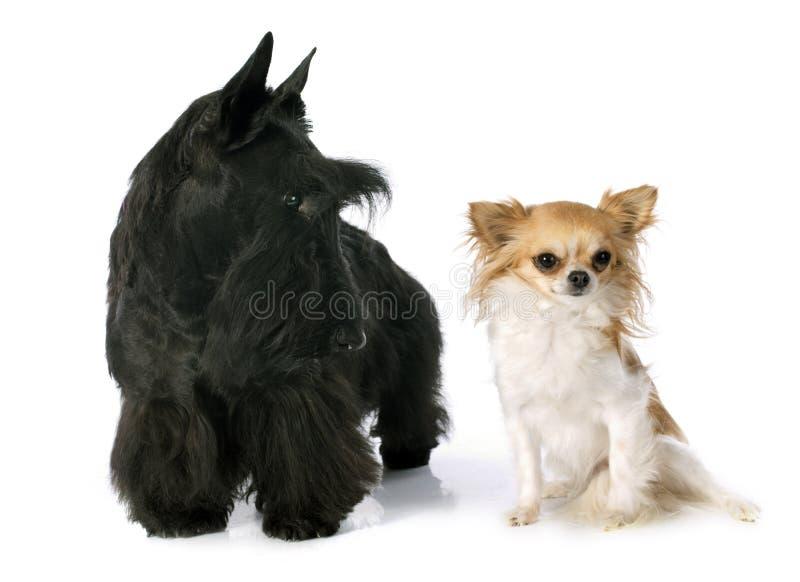 Σκωτσέζικα τεριέ και chihuahua στοκ φωτογραφία