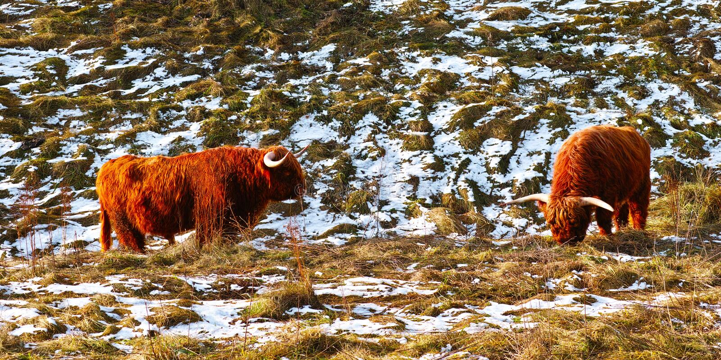 Σκωτσέζικα highlander βοοειδή το χειμώνα στοκ φωτογραφίες