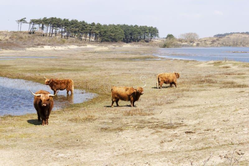 Σκωτσέζικα Highlanders βοοειδών, Zuid Kennemerland, Κάτω Χώρες στοκ εικόνα