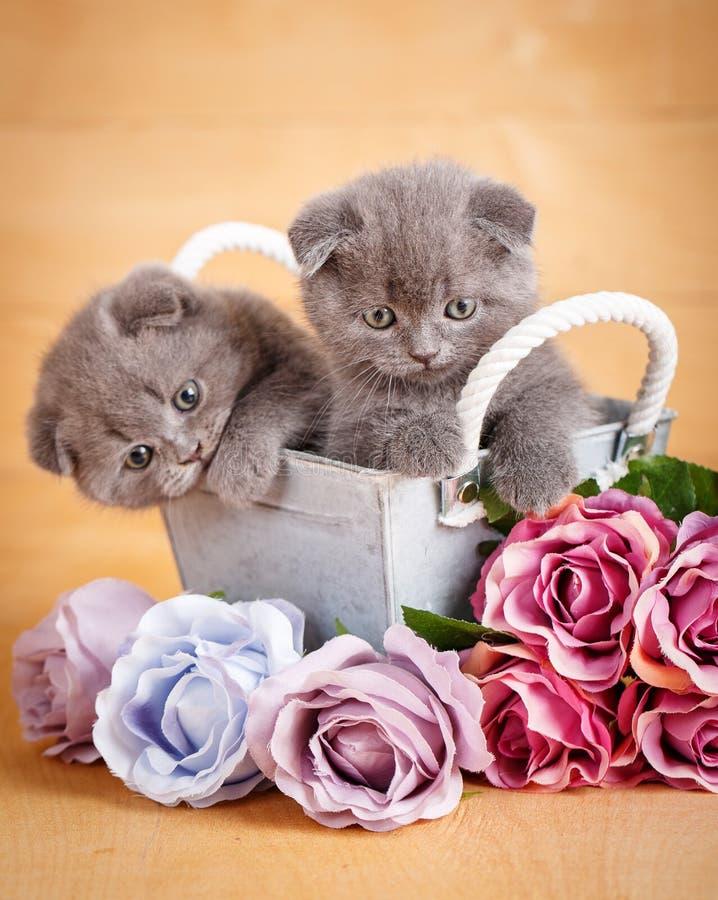 Σκωτσέζικες γάτες πτυχών ζεύγους στο διακοσμητικό ξύλινο κιβώτιο κοντά στην ανθοδέσμη των λουλουδιών Εικόνα για ένα ημερολόγιο με στοκ εικόνες με δικαίωμα ελεύθερης χρήσης