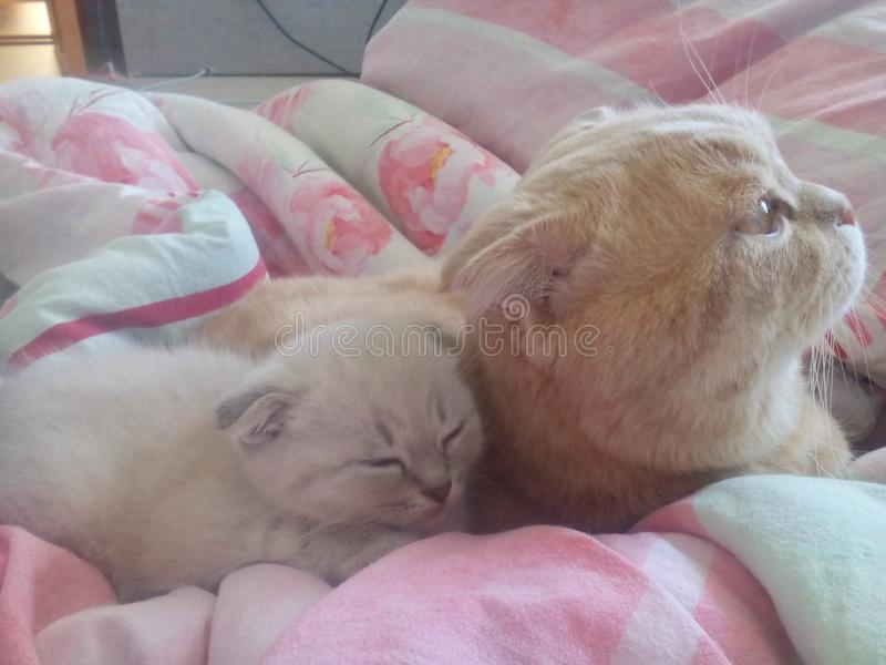 Σκωτσέζικες κόκκινου πτυχές λευκού γατακιών στοκ φωτογραφίες με δικαίωμα ελεύθερης χρήσης