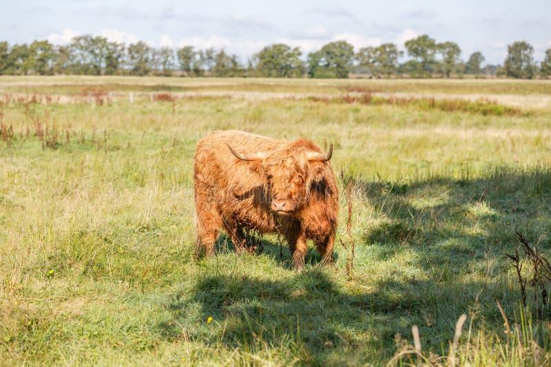 Σκωτσέζικη αγελάδα ορεινών περιοχών στο φυσικό τοπίο λιβαδιών Drents στοκ εικόνες