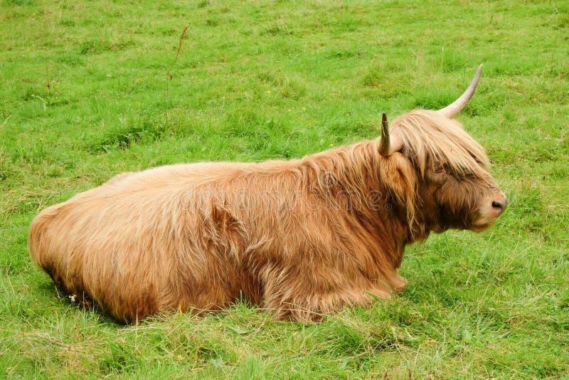 Σκωτσέζικη αγελάδα στοκ εικόνες
