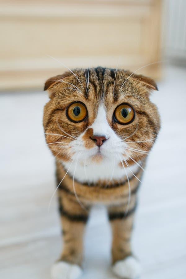 Σκωτσέζικη γάτα με τα μεγάλα μάτια στοκ εικόνες