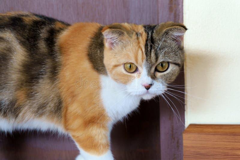 Σκωτσέζικη γάτα πτυχών βαμβακερού υφάσματος στοκ εικόνες