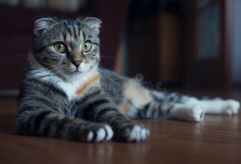 Σκωτσέζικη γάτα πτυχών - εγχώρια συμπάθεια στοκ φωτογραφία
