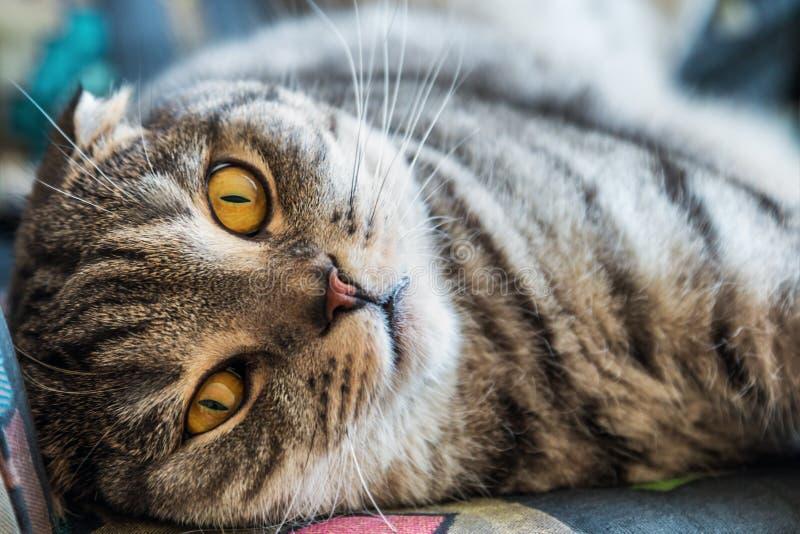 Σκωτσέζικη γάτα πτυχών που βρίσκεται στον καναπέ στοκ εικόνες με δικαίωμα ελεύθερης χρήσης