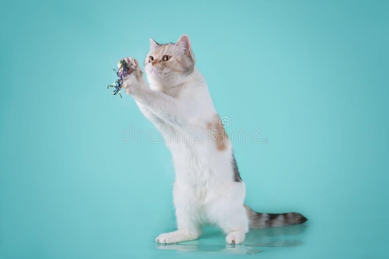 Σκωτσέζικη ευθεία γάτα ταρταρουγών στοκ εικόνες