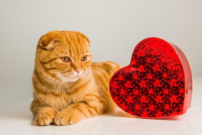 Σκωτσέζικη κόκκινη γάτα πτυχών με το κόκκινο κιβώτιο καρδιών στοκ φωτογραφία με δικαίωμα ελεύθερης χρήσης