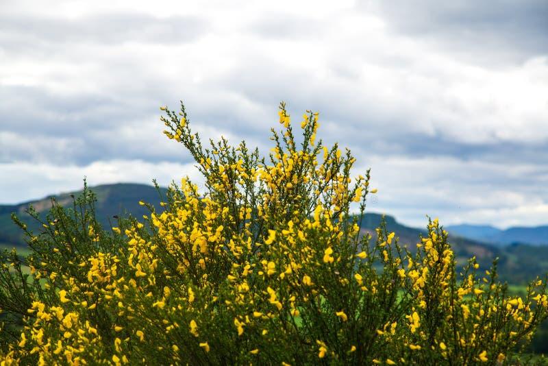 Σκωτσέζικη σκούπα στο τοπίο Scotish στοκ εικόνες