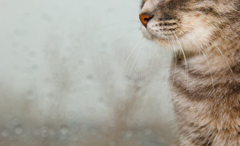 Σκωτσέζικη συνεδρίαση γατών πτυχών στο windowsill στο υπόβαθρο του βροχερού καιρού γκρίζα ριγωτή κινηματογράφηση σε πρώτο πλάνο κ στοκ εικόνες με δικαίωμα ελεύθερης χρήσης