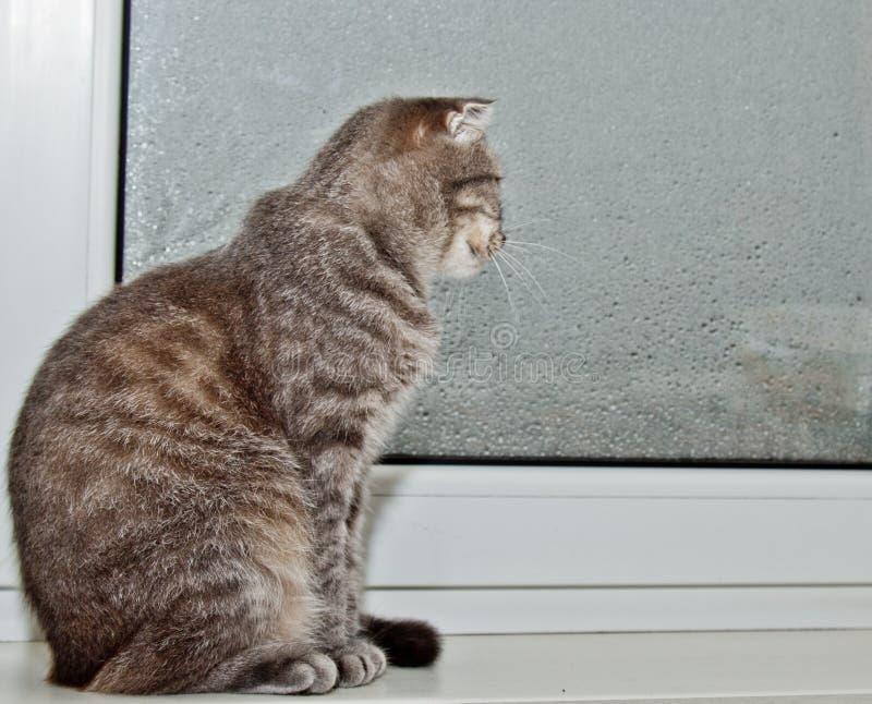 Σκωτσέζικη συνεδρίαση γατών πτυχών στο windowsill στο υπόβαθρο του βροχερού καιρού γκρίζα ριγωτή κινηματογράφηση σε πρώτο πλάνο κ στοκ φωτογραφία με δικαίωμα ελεύθερης χρήσης