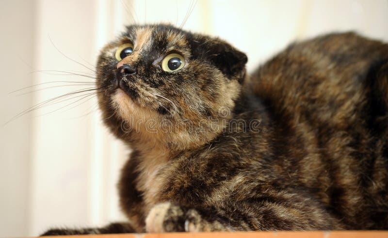 Σκωτσέζικη ταρταρούγα γατών πτυχών στοκ εικόνες
