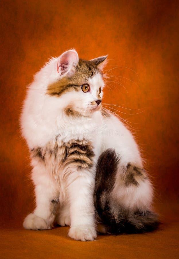 Σκωτσέζικη ταρταρούγα και άσπρο ευθύ γατάκι στοκ φωτογραφίες
