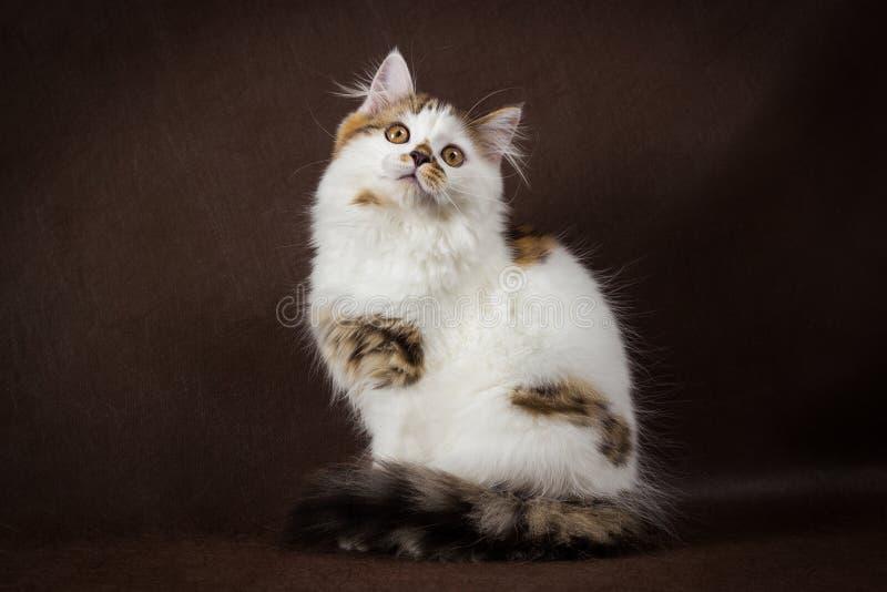 Σκωτσέζικη ταρταρούγα και άσπρο ευθύ γατάκι στοκ εικόνα