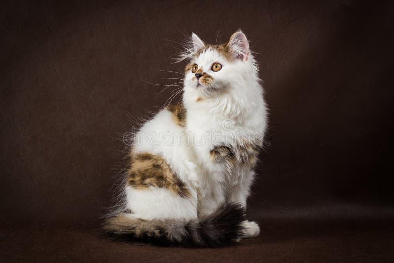 Σκωτσέζικη ταρταρούγα και άσπρο ευθύ γατάκι στοκ εικόνα με δικαίωμα ελεύθερης χρήσης